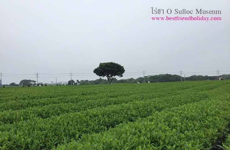 ไร่ชาเกาะเชจู